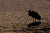 Sandhill Crane after Sunset