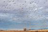 20,000 Snow Geese take wing