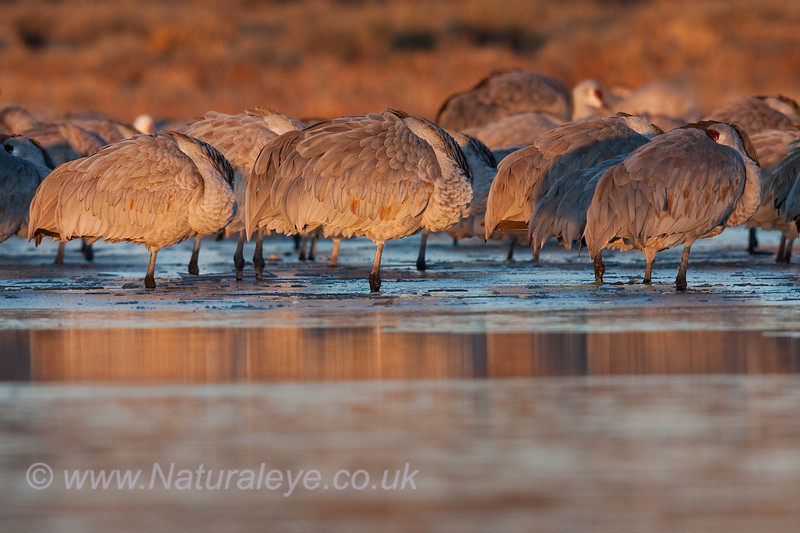 Sandhill Cranes in Dawn light
