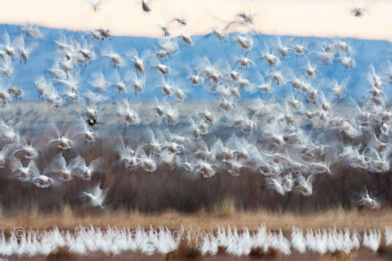 Snow Goose abstract