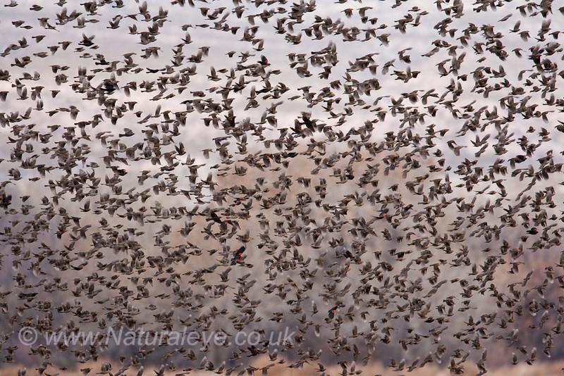 Red Winged Blackbird Flock
