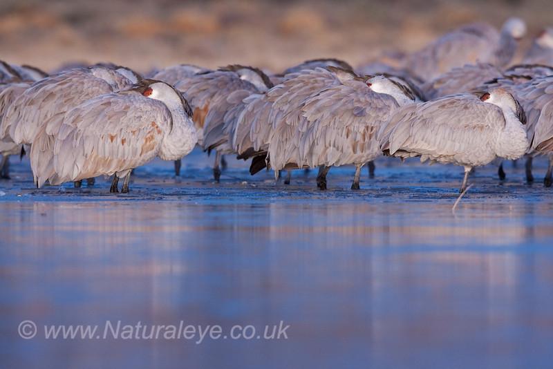 Roosting Sandhill Cranes at Sunrise