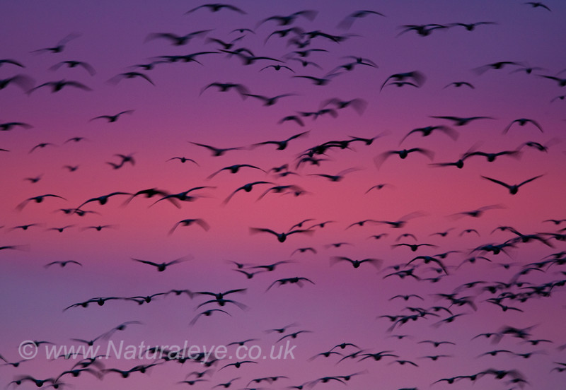 Snow Geese in the pre Dawn light