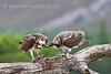 Female Osprey feeding newly fledged chick