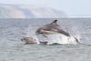 Bottlenose Dolphins breaching