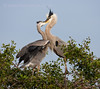 Great Blue Heron - Adult feeding newly fledged juvenile