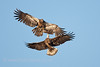 Juvenile Bald Eagles fighting