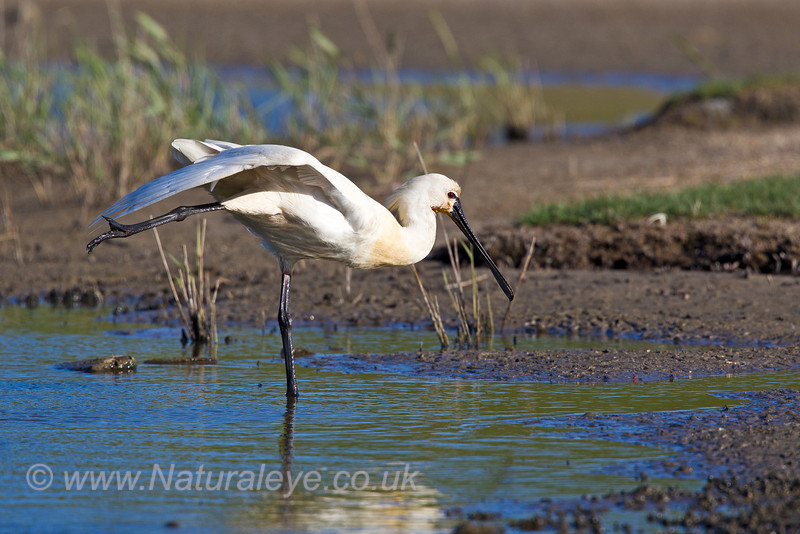 Spoonbill Stretching