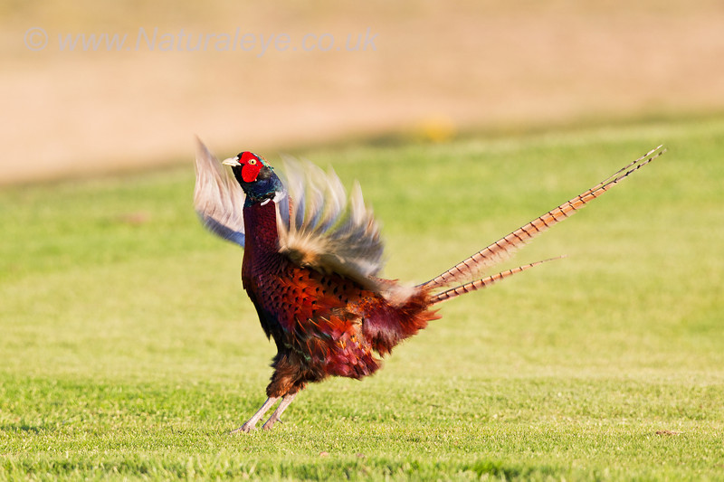 Pheasant Displaying