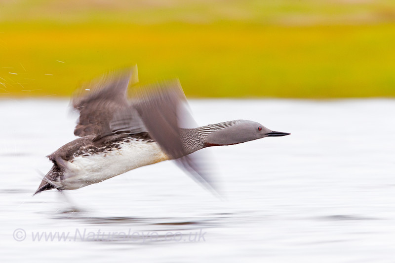Red Throated Diver taking off.