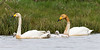 Whooper Swans with cygnets