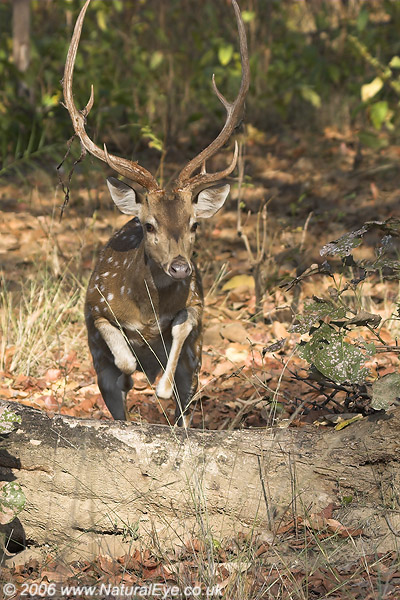 Chital (Spotted Deer) stag jumping