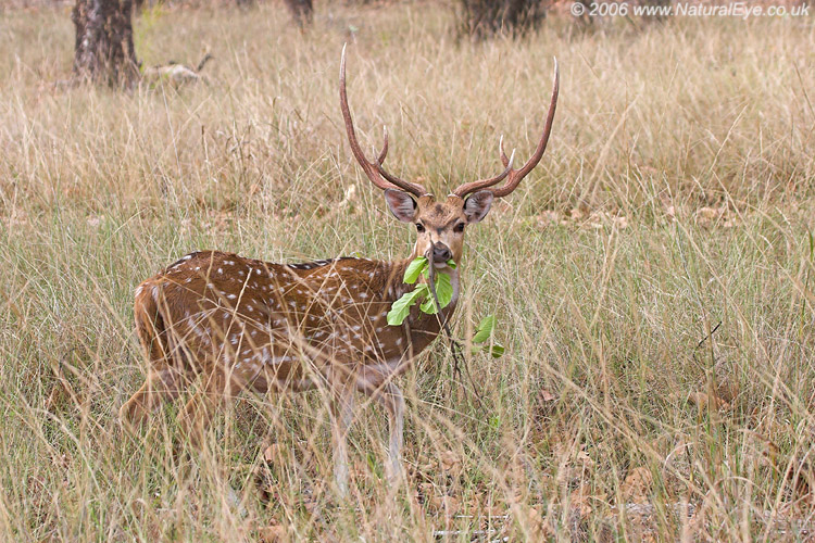 Chital (Spotted Deer) stag