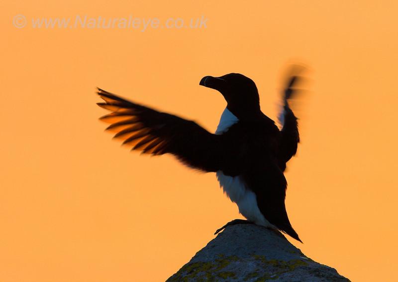 Razorbill at Sunset