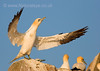 Gannet in evening light