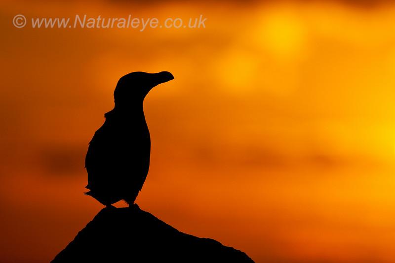 Razorbill sunset