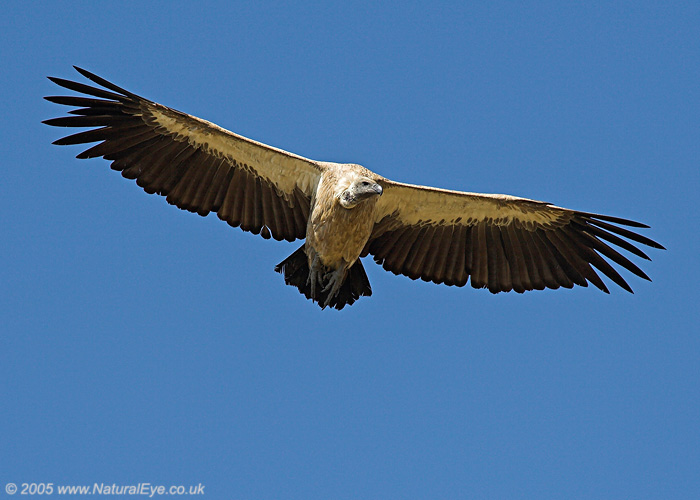 African White Backed Vulture in flight, Maasai Mara, Kenya