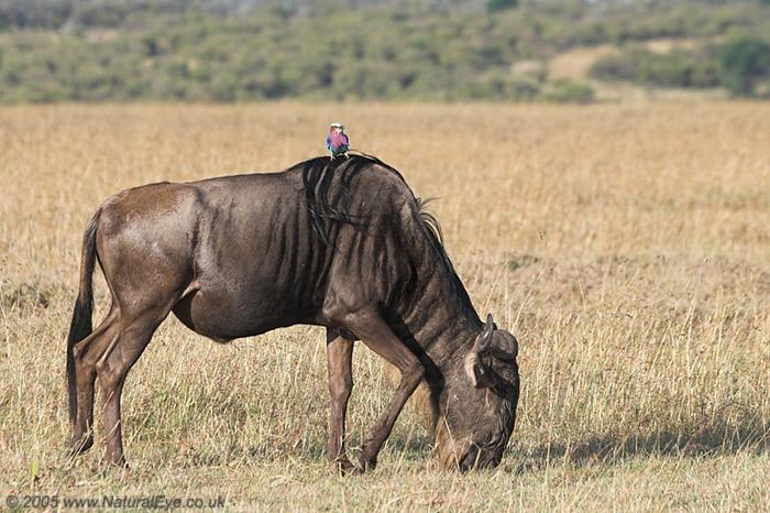 Wildebeest and Lilac Breasted Roller, Maasai Mara, Kenya