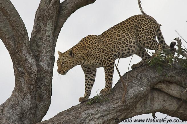 African Leopard, Maasai Mara, Kenya