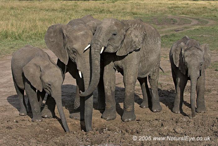 Young African Elephants digging for minerals - Maasai Mara, Kenya