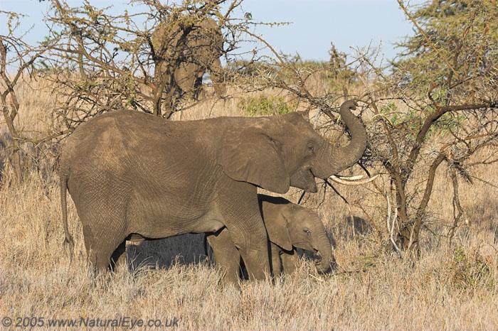 African Elephant female and juvenile, Lewa Wildlife Conservancy, Kenya