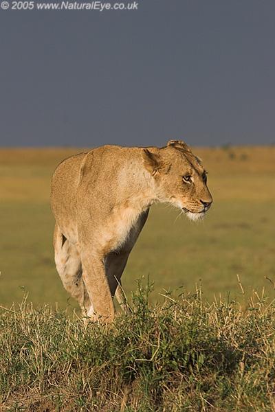 Lioness in the evening sun, Maasai Mara, Kenya