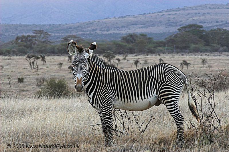 Grevy's Zebra, Lewa Wildlife Conservancy, Kenya