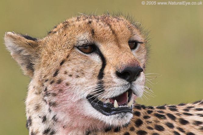 Cheetah portrait, Maasai Mara, Kenya
