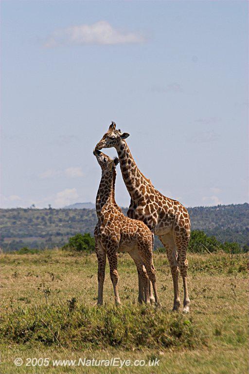 Young Maasai Giraffe, Maasai Mara, Kenya