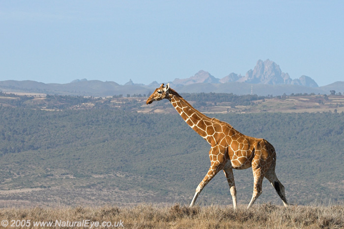 Reticulated Giraffe in front of Mt Kenya, Lewa Wildlife Conservancy, Kenya