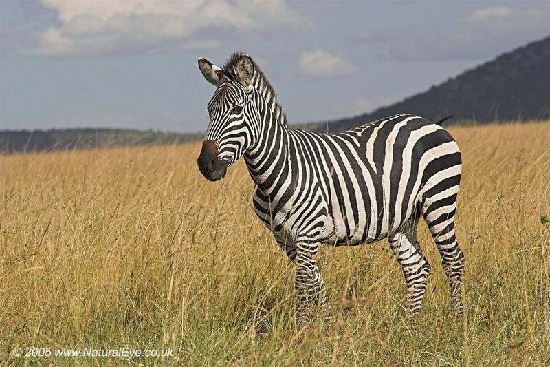 Burchell's Zebra, Maasai Mara, Kenya