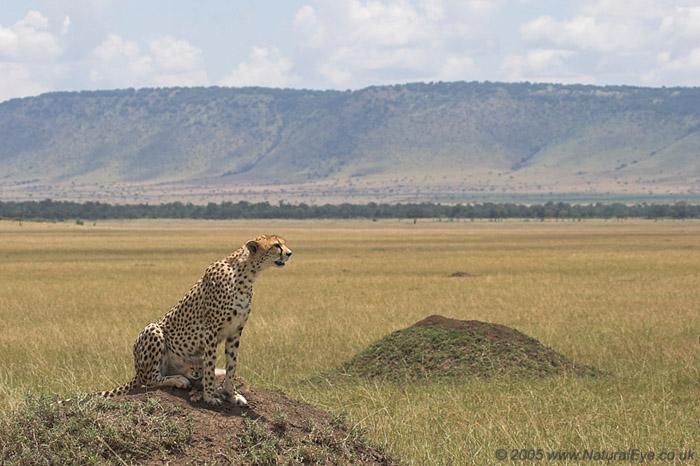Cheetah and 5 week old cub.  Maasai Mara, Kenya