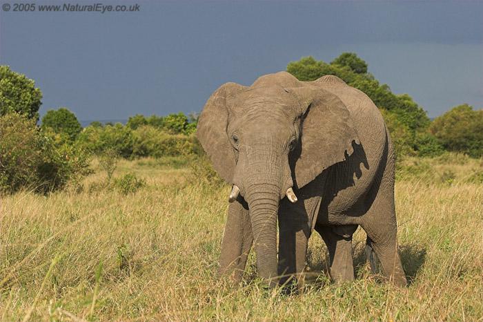 African Elephant, Maasai Mara, Kenya