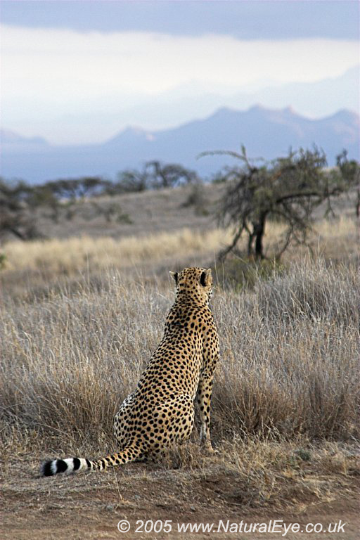 Cheetah, Lewa Wildlife Conservancy, Kenya