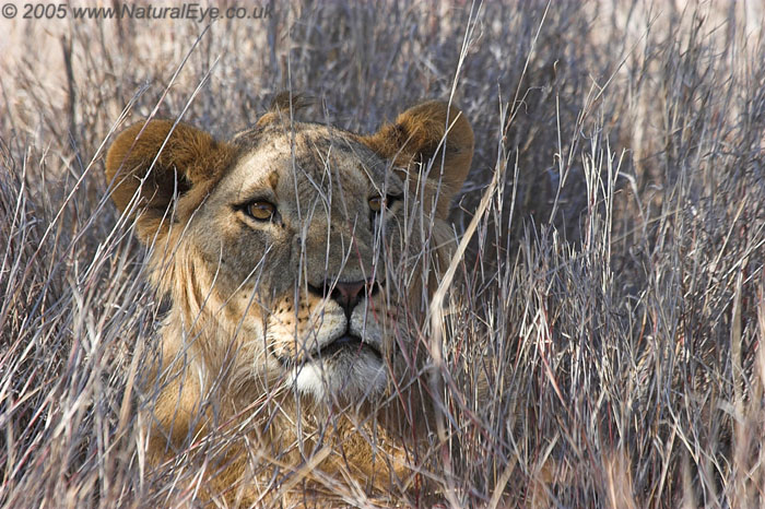 Lioness in the long grass, Lewa Wildlife Conservancy, Kenya