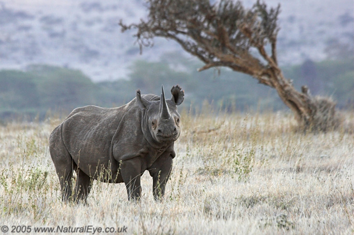Black Rhino, Lewa Wildlife Conservancy, Kenya