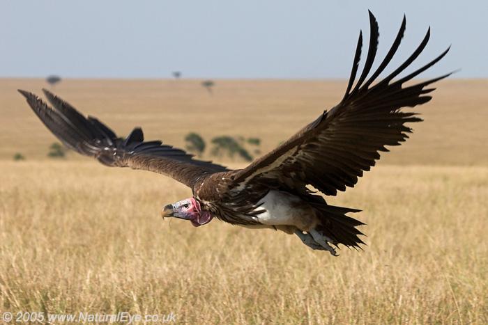 Lappet Faced Vulture, Maasai Mara, Kenya