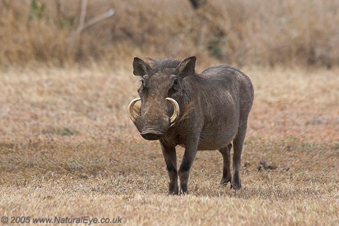 Warthog, Lewa Wildlife Conservancy, Kenya