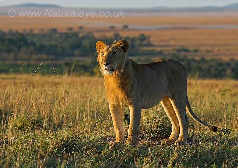 Lion in dawn light