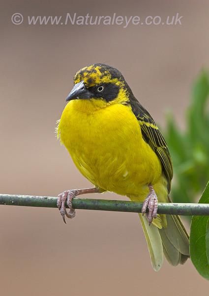 Weaver Bird (sp?)