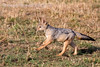 Black Backed Jackal Puppy