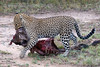 Leopard dragging Wildebeast carcass