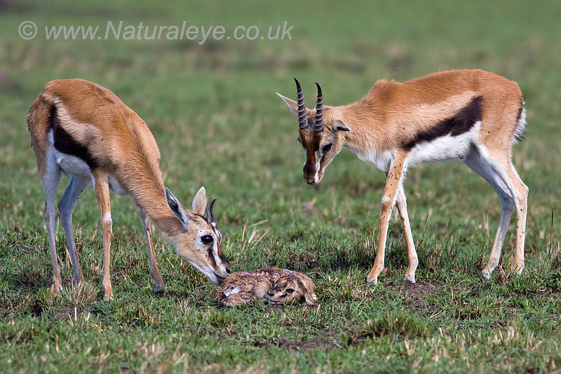 Thomson's Gazelle with new born fawn