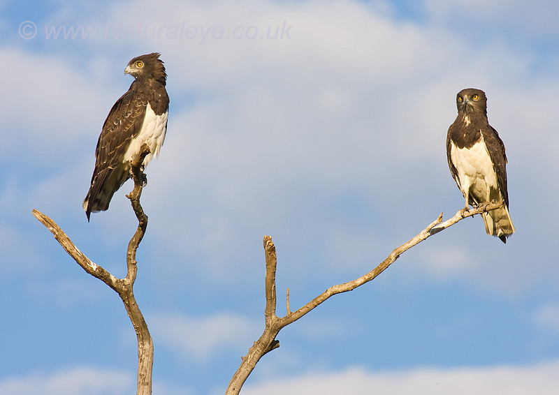 Black Chested Snake Eagle pair
