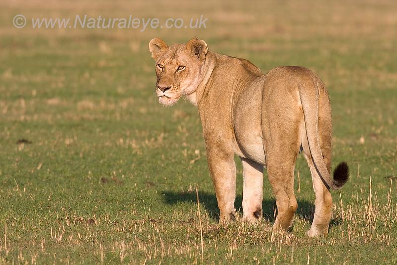 Lion looking back over shoulder
