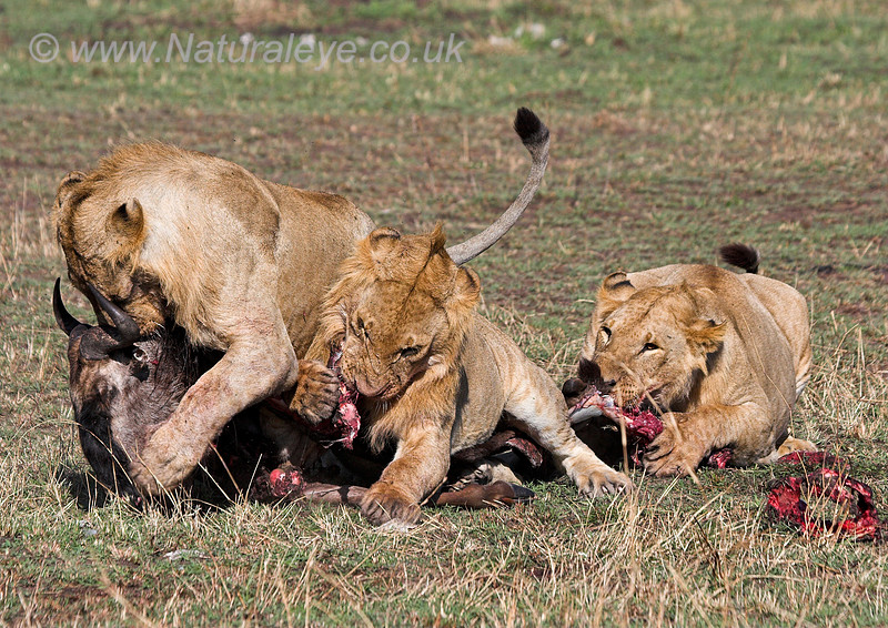 Lions fighting over Wildebeast kill