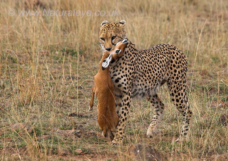 Cheetah with Impala fawn