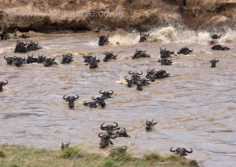 Wildebeast crossing the Mara River, Kenya