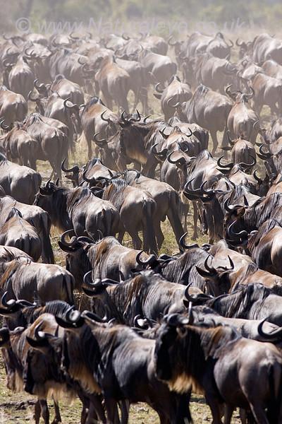Wildebeast herd