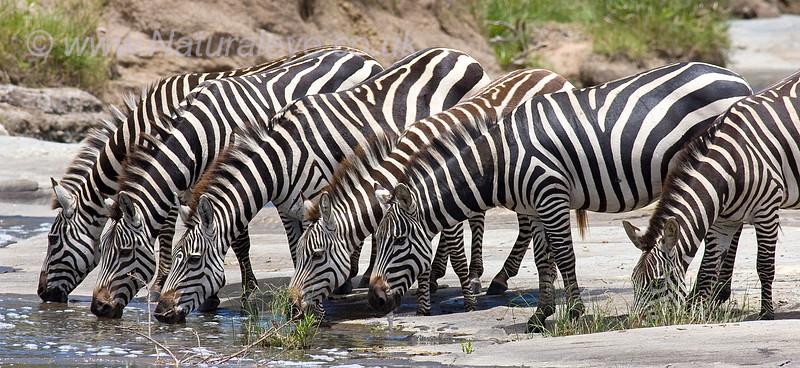 Common Zebra Drinking